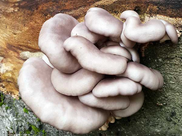 Oyster Fungus